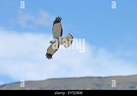 Cinereous Harrier male in flight - El Calafate Argentina with a hare's foot in talon - Stock Photo