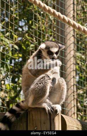 The ring-tailed lemur at paradise wildlife park - Stock Photo