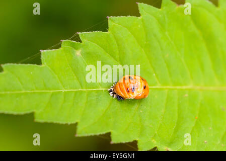 Macro of an orange Harmonia axyridis nymph on a green leaf - Stock Photo