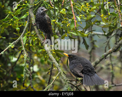 Blackbird male intimidating a Starling on branch - France - Stock Photo