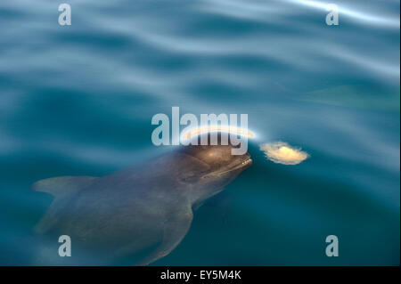 Pilot whale eating a jellyfish  - Gulf of California - Stock Photo