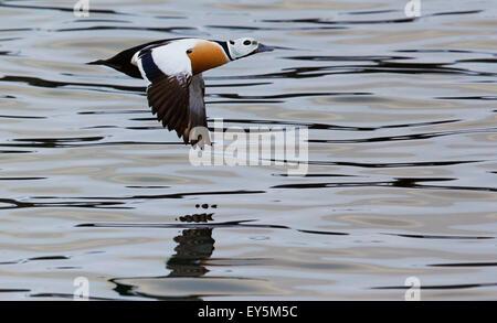Male Steller's Eider in flight - Barents sea Norway - Stock Photo