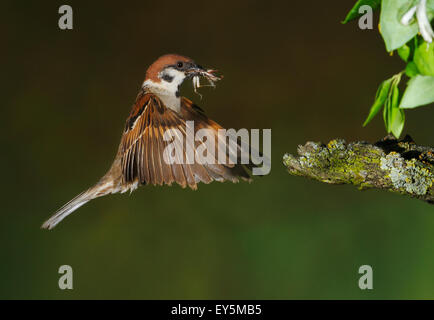 Eurasian Tree Sparrow flying with its prey - Spain - Stock Photo