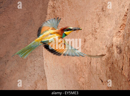 European Bee-eater with prey in flight - Spain - Stock Photo