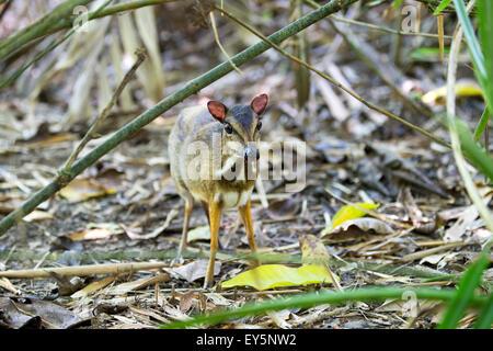 Lesser mouse deer undergrowth - Kinabalu Sabah Malaysia - Stock Photo