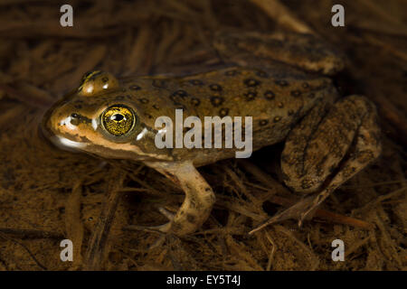 Oregon Spotted Frog - Conboy Lake Washington USA - Stock Photo