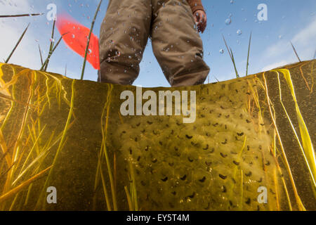 Oregon Spotted Frog eggs - Conboy Lake Washington USA - Stock Photo