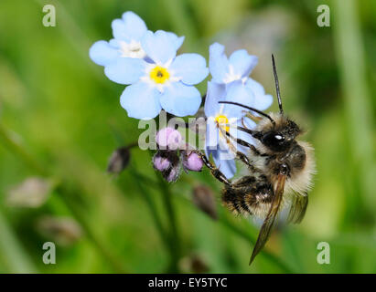 Red Mason Bee on Myosotis flowers - Northern Vosges France - Stock Photo