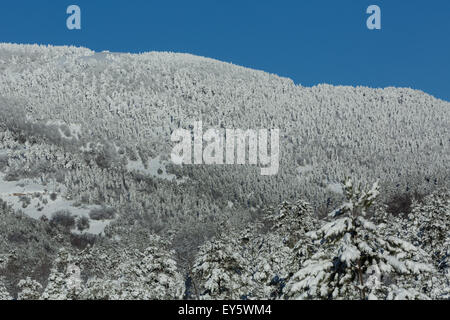 Snowy conifer forest in the Mont Ventoux - Vaucluse - France - Stock Photo