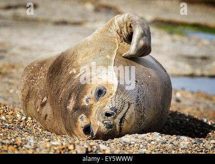 Baby elephant seal captured in peninsula Valdes, Patagonia - Stock Photo