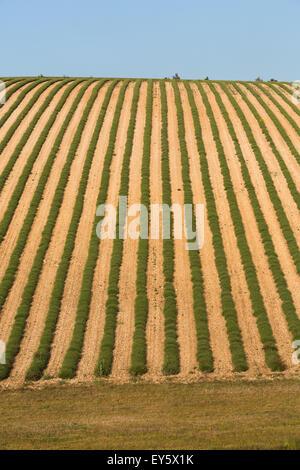 Lavender field on Plateau de Sault - Vaucluse - France - Stock Photo
