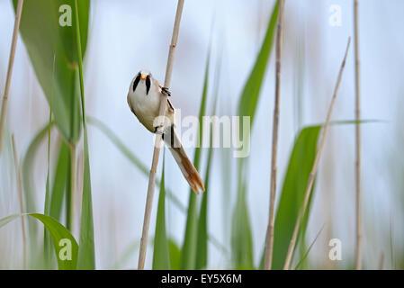 Bearded Reedling male on reed - Danube Delta Romania - Stock Photo