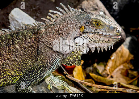 Green Iguana Martinique West Indies - Stock Photo