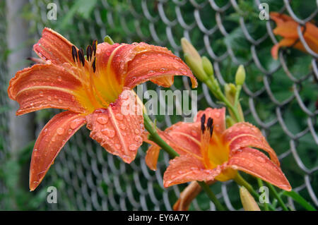 Two flower Orange Daylily (Hemerocallis fulva)  after rain with raindrops on the petals sprouted through a metal - Stock Photo