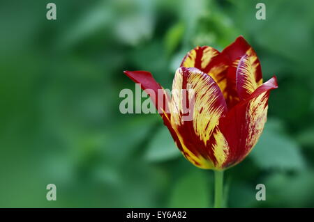 Flower big yellow and red striped tulip on blurred green background closeup - Stock Photo