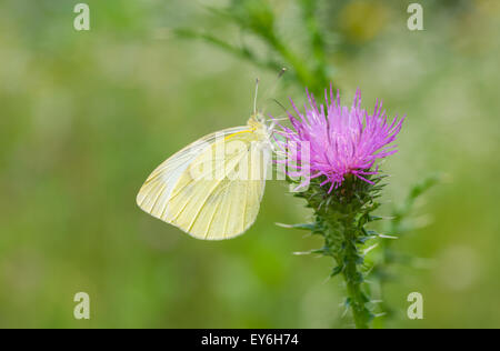 Beautiful Cabbage butterfly (Pieris brassicae) on a thistle flower - Stock Photo