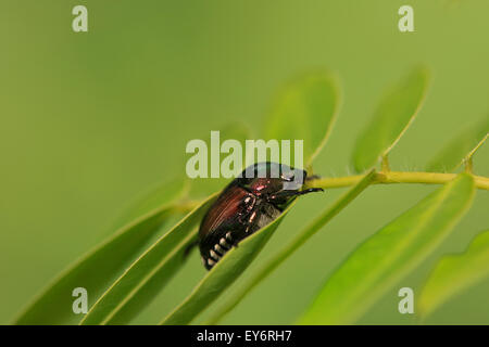 Japanese beetle (Popillia japonica) on leaf. - Stock Photo