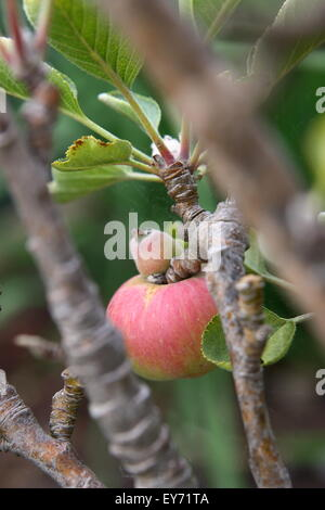 Young apple growing on a tree - Stock Photo