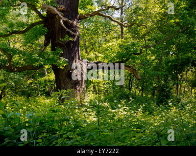 Old oak tree in Sherwood Forest near Edwinstowe Nottinghamshire England UK famous for its link with Robin Hood - Stock Photo