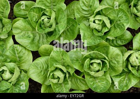 Little Gem Romaine Lettuce in a garden. Top view. Small lettuces growing in a row in a garden. Organic gardening. - Stock Photo