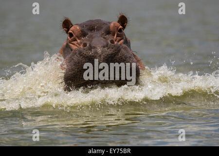 Common hippopotamus (Hippopotamus amphibius) or Hippo - Stock Photo