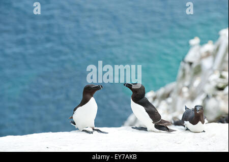 Razorbills (Alca torda) on Great Saltee Island in Wexford, Ireland. - Stock Photo