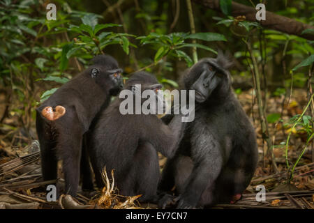 Group of wild Sulawesi blac-crested macaque (Macaca nigra) grooming. - Stock Photo