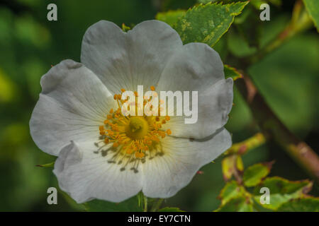 Flower of a wild / Dog Rose (Rosa canina). Key focus is on the anthers and yellow inner parts. - Stock Photo