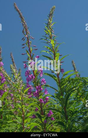 Rosebay Willowherb (Epilobium angustifolium) flowers on roadside set against summery blue sky. Young leaves may - Stock Photo