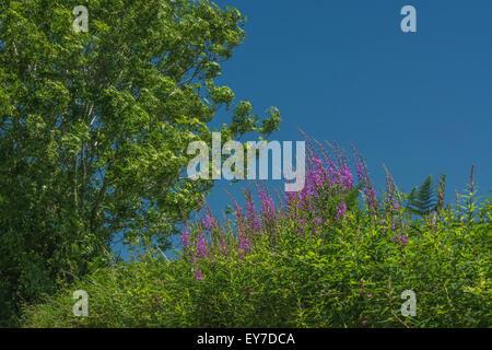 Rosebay Willowherb / Epilobium angustifolium colony on roadside set against summery blue sky.  Young leaves may - Stock Photo