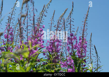 Rosebay Willowherb / Epilobium angustifolium colony on roadside set against summery blue sky. Young leaves may be - Stock Photo