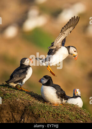 Atlantic Puffin ( Fratercula arctica) landing among groups of birds at the Wick, Skomer Island, Pembrokeshire - Stock Photo