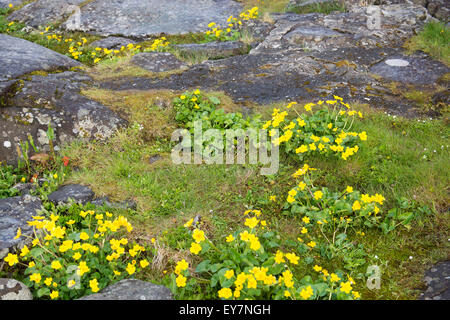 Caltha palustris the national flower of the faroe islands known as marsh-marigold and kingcup - Stock Photo