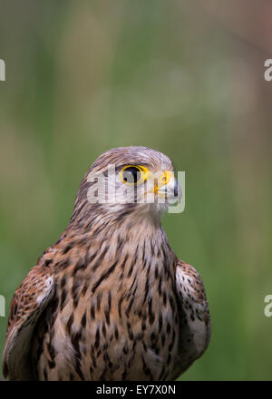Portrait of adult female common kestrel (falco tinnunculus). - Stock Photo