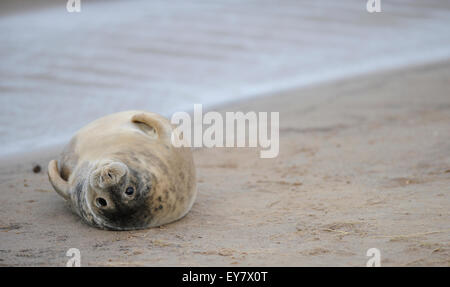 Young grey seal (halichoerus grypus) on the beach, Lincolnshire, United Kingdom. - Stock Photo