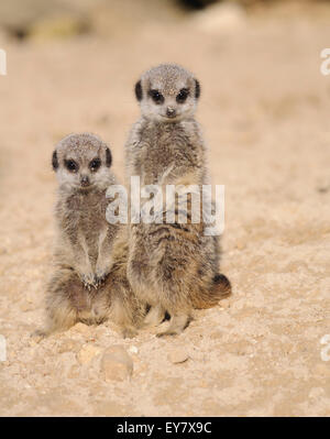 Two young meerkats / suricates (suricata suricatta), looking at the camera. - Stock Photo