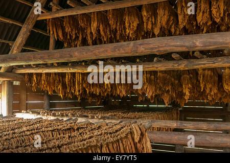 Cuban Cigar Tobacco Leaves Drying, Vinales, Cuba - Stock Photo