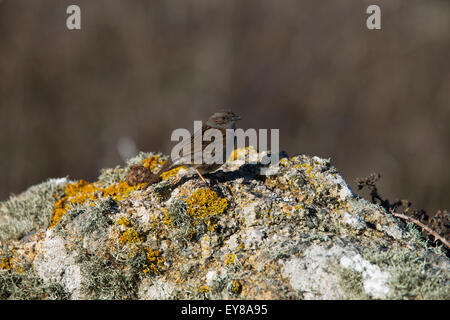 Dunnock (Prunella modularis) adult perched on a lichen-covered rock, Lands End, Cornwall, England, UK. - Stock Photo