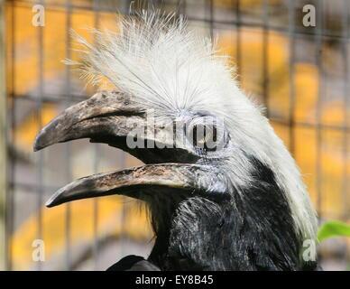 Captive female Southeast Asian White crowned hornbill (Berenicornis comatus) a.k.a.white or long crested hornbill - Stock Photo