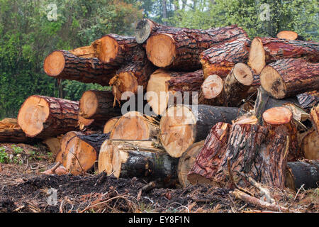 cut trunks of pines and poplars stacked in a pile felled after a wind storm in forte dei marmi versilia tuscany - Stock Photo