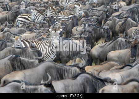 Plains zebra (Equus burchellii), looking at camera, between Blue wildebeest ( Connochaetus taurinus) during migration, - Stock Photo