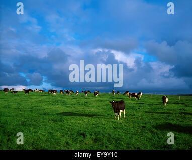 Dunluce Castle, Co Antrim, Ireland; Friesian Cattle - Stock Photo