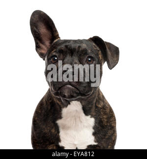 Close-up of a Staffordshire Bull Terrier in front of a white background - Stock Photo