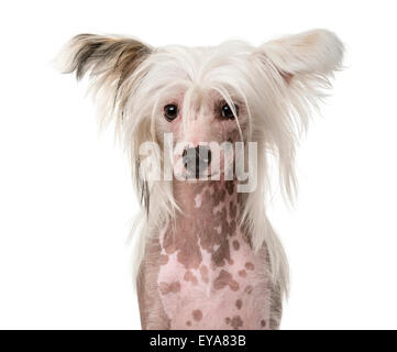Close-up of a Chinese Crested Dog in front of a white background - Stock Photo