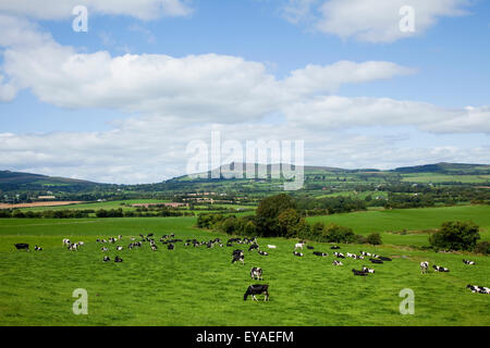 Cows Grazing In A Field At The Foot Of The Galtee Mountains Near Kildorrery; Dublin City, County Dublin, Ireland - Stock Photo