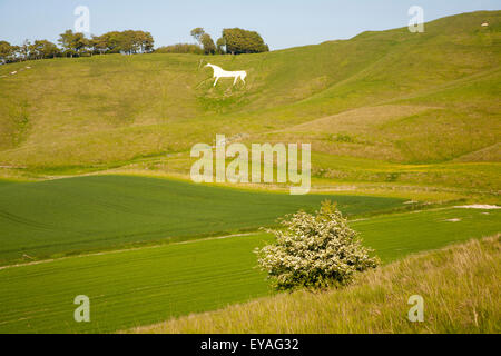 White horse in chalk scarp slope Cherhill, Wiltshire, England, UK dating from 1780 - Stock Photo