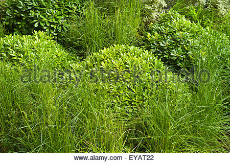 A green foliage garden planting scheme with pittosporum for Planting schemes with grasses