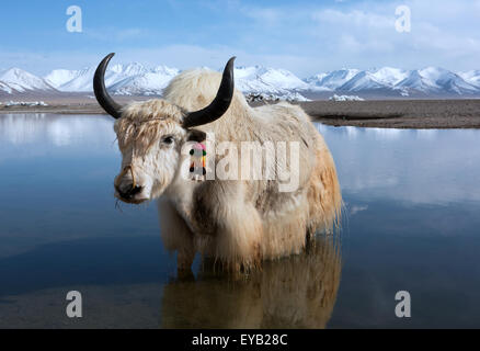 Chilly paddle. White yak in Lake Namtso Tibet - Stock Photo