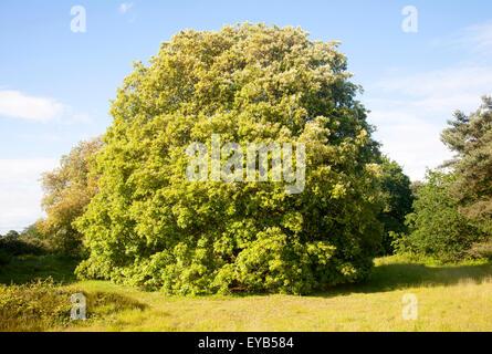 Holm oak tree, Quercus ilex, growing on heathland Shottisham, Suffolk, England, UK - Stock Photo