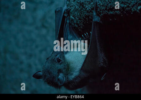 Rousettus Aegyptiacus, Egyptian bat hanging in a dark cave. - Stock Photo